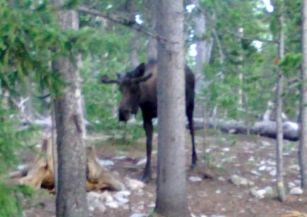 Campside Moose  2014-06-03