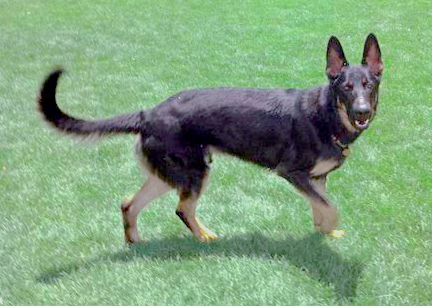 Clipper Kennedy German Shepherd Dog