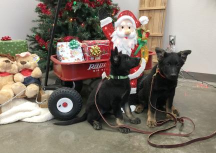 Working German Shepherd Dogs - Cart & Wagon Dogs