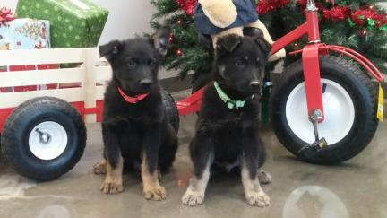 Christmas Puppies Black Friday Runnings 2016-11-25