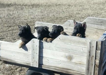 GSD Puppies in Wagon 2016-11-12