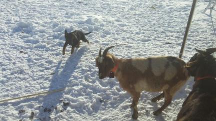 Tychicus Moves Goats 2017-01-04