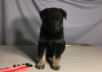Female TT German Shepherd Dog Puppy 2017-09-14
